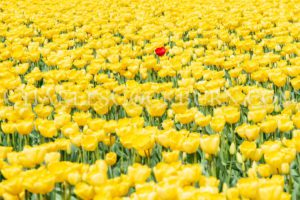 Yellow and one red tulip _ Stand Out In The Crowd at CharlesCockburn.com