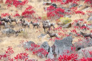 Bighorn sheep expertly navigate a rock field near the Columbia River in Washington State.