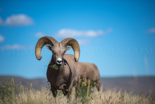 A large bighorn sheep serenely nibbles on grass in Central Washington State.