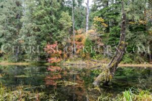 The leaves begin to change in a swampy patch of wilderness near the Hoh Rainforest in the Olympic National Park.