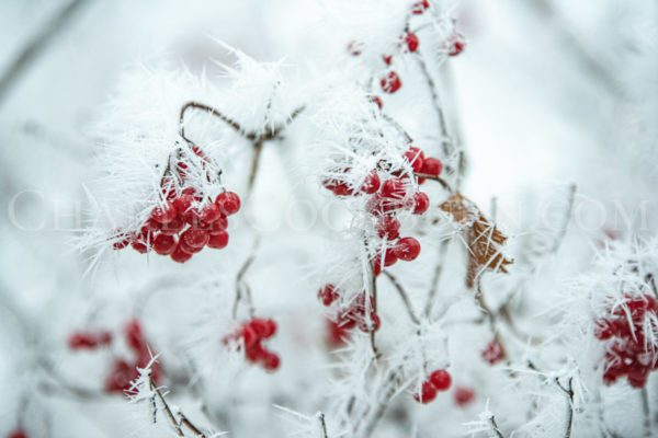 Vibrant red berries are beautifully adorned by ice crystals