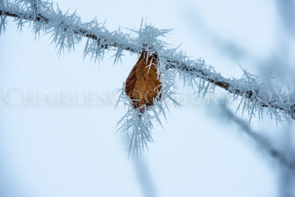 The last autumn leaf clings to its branch as winter takes hold