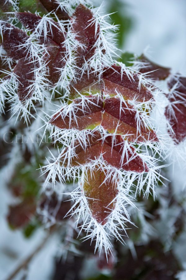 Orange, autumny leaves are encrusted in prickly ice crystals