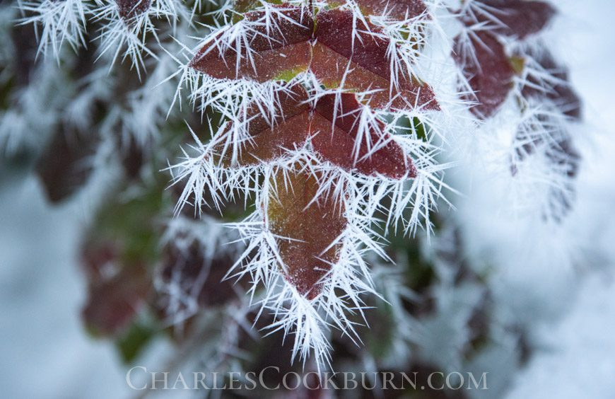 Leaves covered in ice crystals