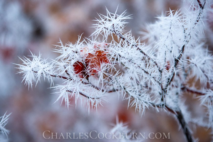 Branches covered in ice crystals