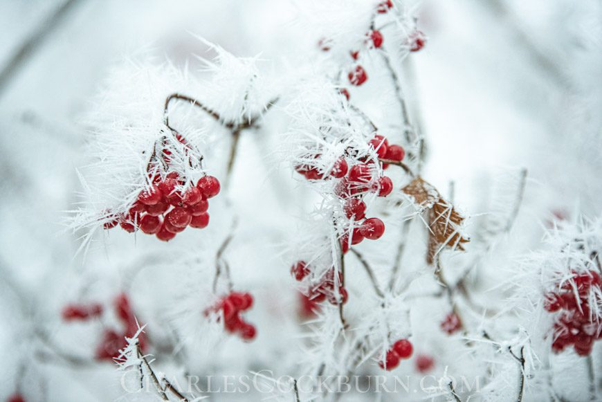 Red berries covered in ice crystals