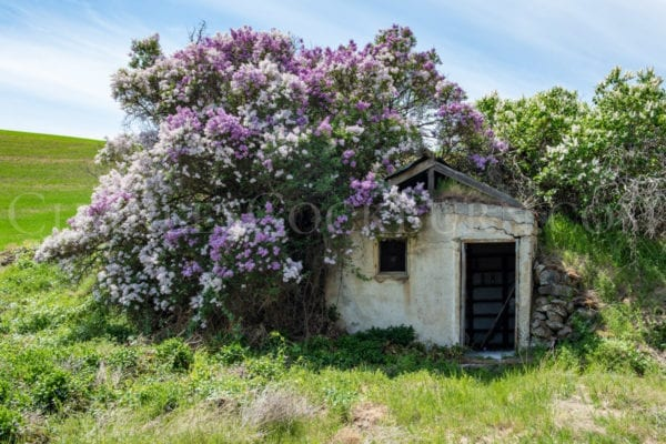 Purple and white lilac flowers cover a crumbling old building