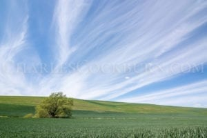 A lone tree stands in a field of green crowned by streaks of white clouds