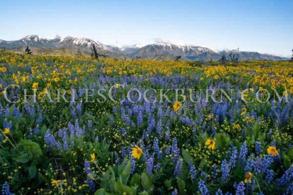 Purple lupine and yellow balsamroot are crowned by the Enchantments mountains