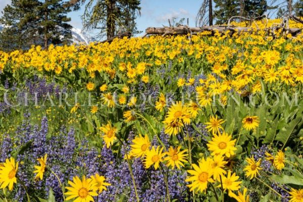 Yellow balsamroot and purple lupine cover a mountain hillside